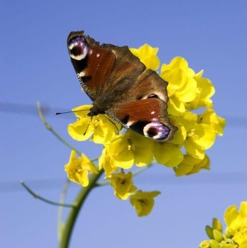 Schmetterling auf Rapsblüte.